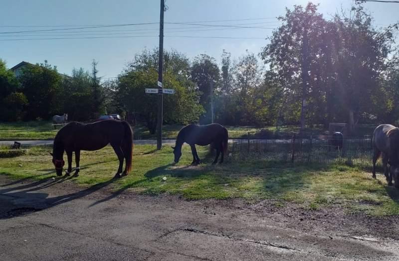 Horses in Temesvár