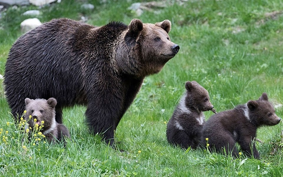 Romanian Bears