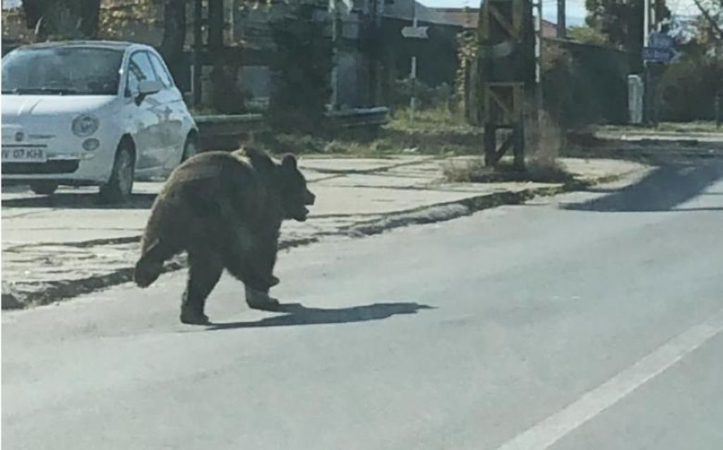 bear running in Medgyes