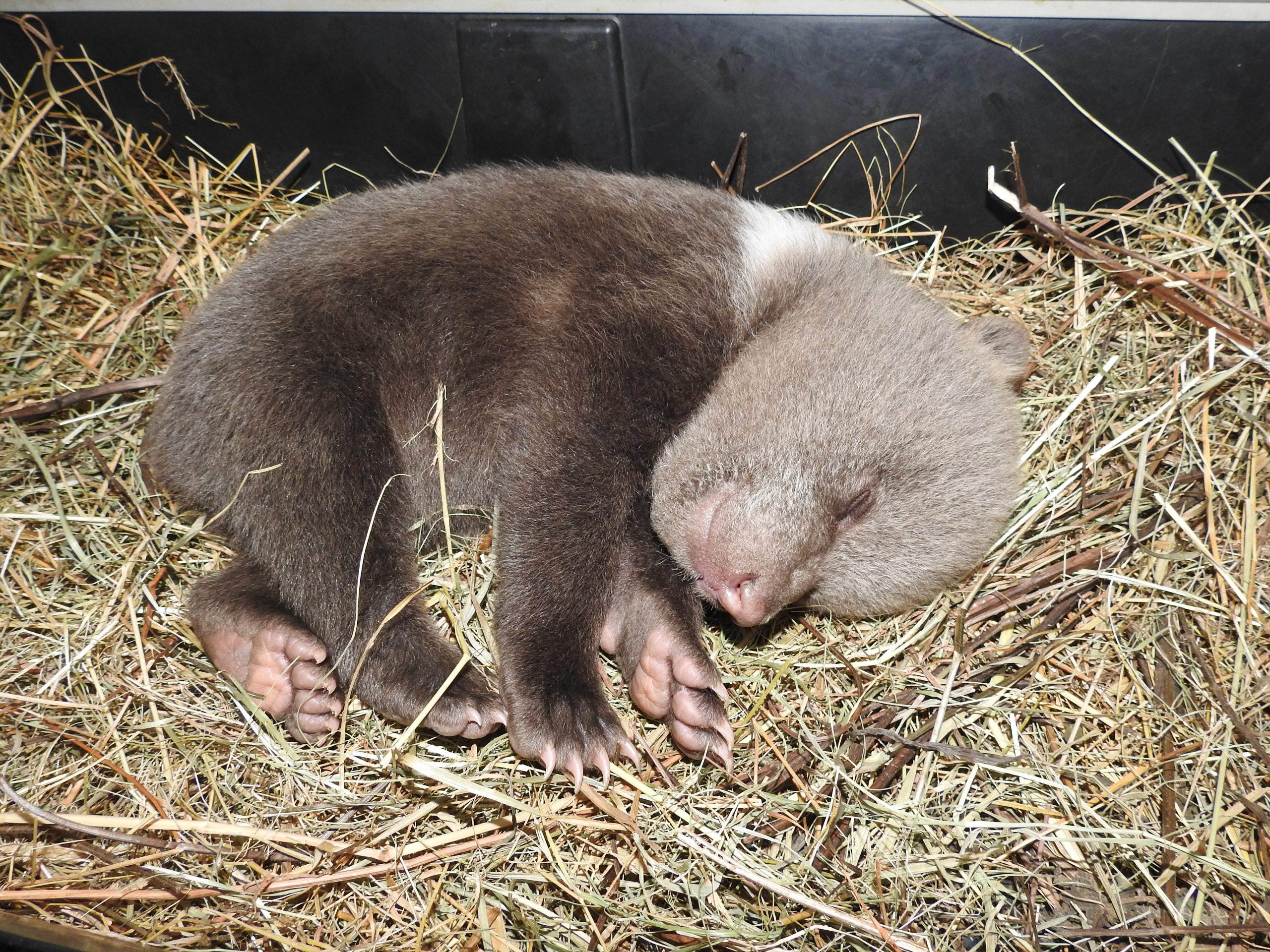 Orphaned brown bear cub