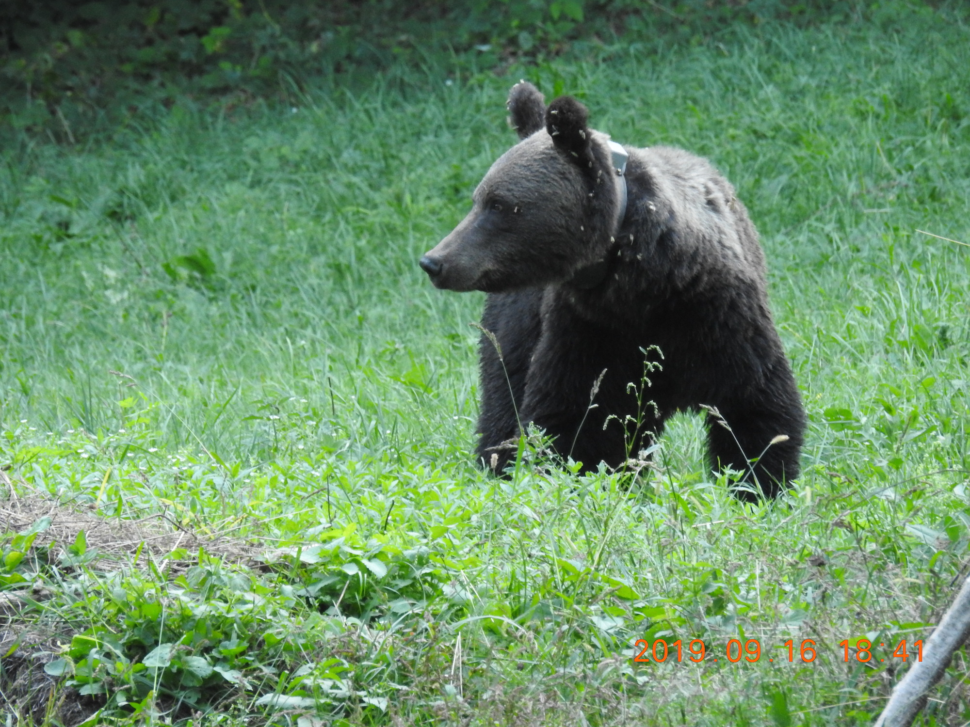 Young male bear