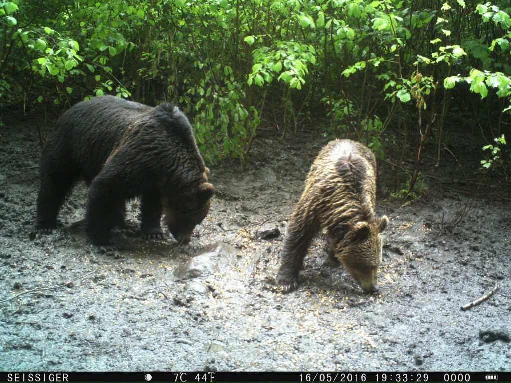 Bear footage