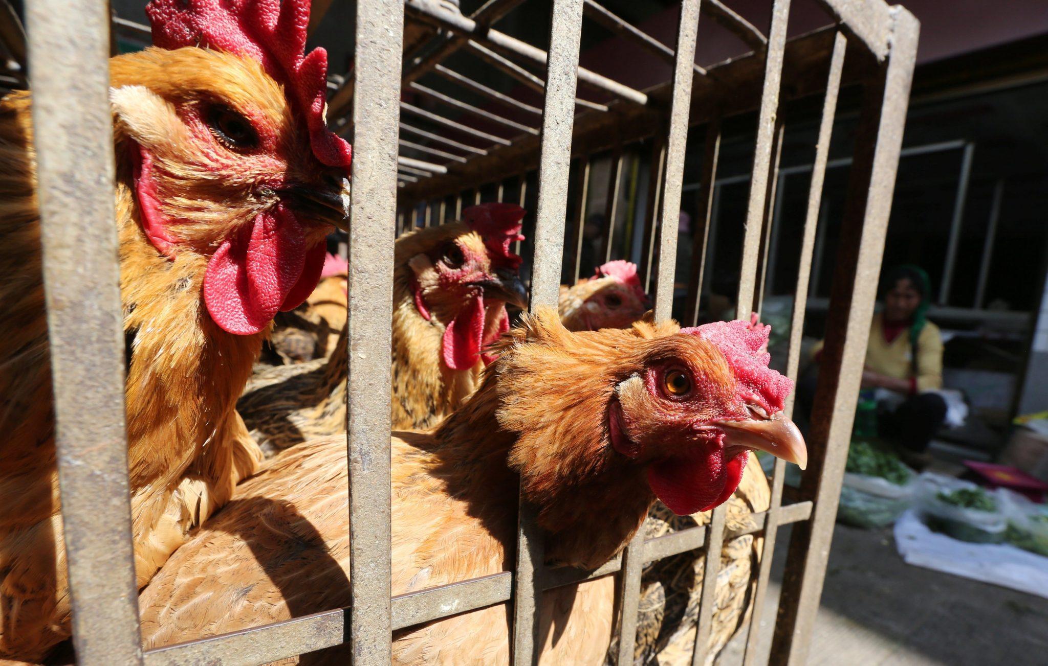 Bird flu fear shuts thai cock