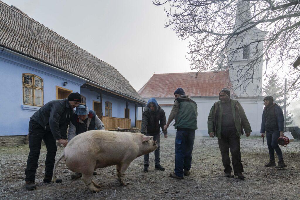 Pig in Transylvania