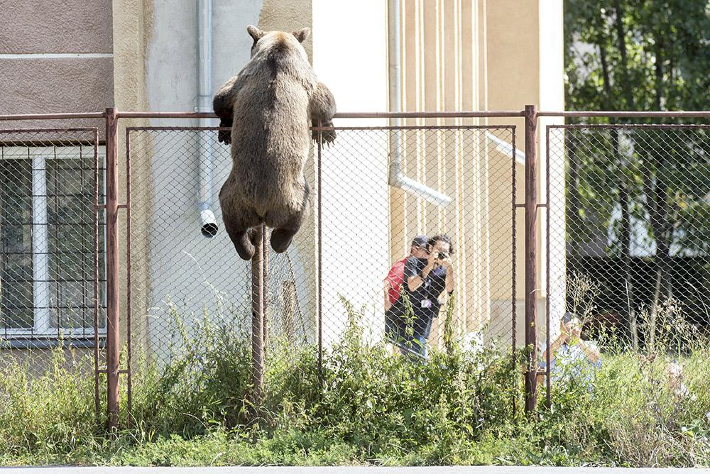 Brown bear in Romania